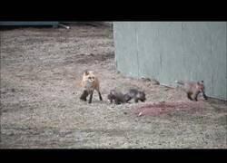 Enlace a Así alimenta esta mamá zorro a sus pequeñas crías