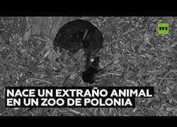 Enlace a Nace un extraño 'ciervo ratón' en un zoo de Polonia