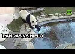 Enlace a Un oso panda es asustado por el hielo