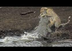 Enlace a Un guepardo es sorprendido por un cocodrilo