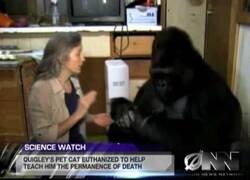 Enlace a Científicos hacen entender a un gorila que algún día morirá