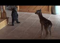 Enlace a Un cría de ciervo y una cría de oso tratan de hacerse amigos