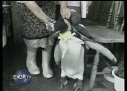 Enlace a Lala, el pingüino mochilero que vive como mascota en Japón