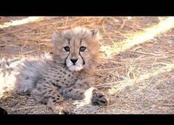Enlace a Así se crían cachorros de leopardo