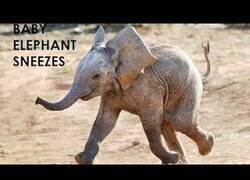 Enlace a Bebé elefante se asusta con su propio estornudo