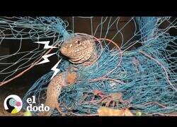 Enlace a Rescatan a un lagarto gigante que había quedado atrapado en una red