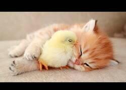 Enlace a Un pollito duerme al lado de un gatito