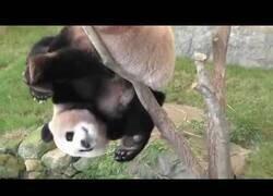 Enlace a Osos panda, los animales que parecen querer extinguirse