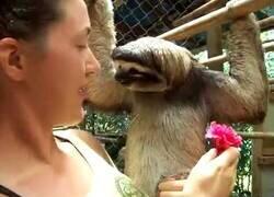 Enlace a Oso perezoso no quiere flores, solo quiere un abrazo