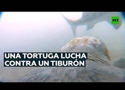 Enlace a Así se defiende una tortuga del ataque de un tiburón