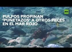 Enlace a Pulpos del Mar Rojo 'se lían a puñetazos' con los peces