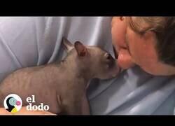 Enlace a Así es tener un wombat como mascota