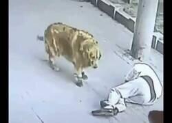 Enlace a El vídeo random del año: Un perro con zapatillas ayuda a un hombre al que le ha caído un gato del cielo