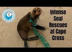 Enlace a Salvando a focas de la basura marina en una costa llena de ellas