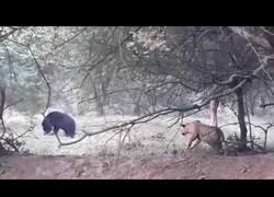 Enlace a Entre un oso y un tigre, ¿quién teme a quién?