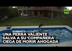 Enlace a Una perrita ciega es salvada por otra perra de morir ahogada en una piscina