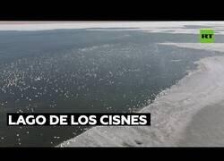Enlace a Miles de cisnes se congregan en el Mar Caspio