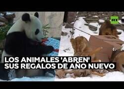 Enlace a Así abrieron sus regalos de Navidad los animales del Zoo de Moscú