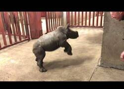 Enlace a Así de juguetón es esta cría de rinoceronte