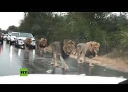 Enlace a Cuatro leones paran el tráfico en una carretera en Sudáfrica