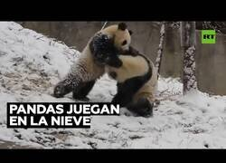 Enlace a Así se divierten dos pandas en la nieve