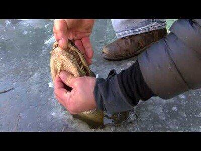 Así sobreviven los cocodrilos cuando el agua se congela