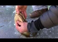 Enlace a Así sobreviven los cocodrilos cuando el agua se congela