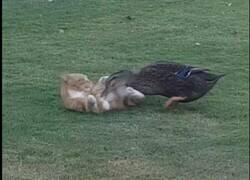 Enlace a La pelea entre un pato y un gato