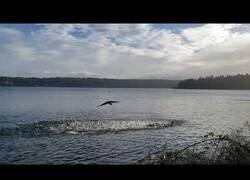 Enlace a Un águila ataca a una manada de patos y un cuervo intenta defenderlos