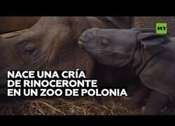 Enlace a Así es el nacimiento de una extraña especie de rinoceronte