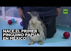 Enlace a Nace, por primera vez en México, un pingüino papúa