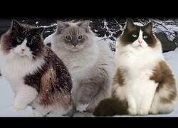 Enlace a Tan solo unos gatos divirtiéndose en la nieve