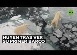 Enlace a Osos polares huyen al ver un barco por primera vez