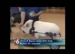 Enlace a Un presentador de informativos no puede parar de reír con un cerdo discapacitado