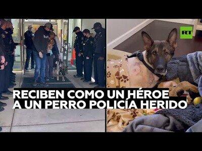 Un perro policía herido es recibido en su comisaría como un héroe