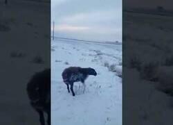 Enlace a Animales quedan totalmente congelados en Kazajistán