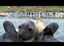Enlace a Una foca bebé curiosea los pies de un cámara