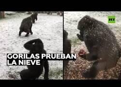 Enlace a Gorilas interactúan con la nieve por primera vez