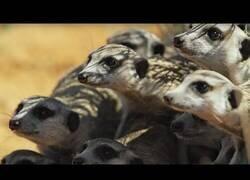 Enlace a Así reaccionan unos suricatos a un robot de serpiente cobra