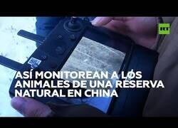 Enlace a Así controlan con drones a los animales de una reserva natural en China