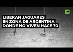 Enlace a Liberan a tres jaguares en una zona de Argentina donde habitaban hace 70 años