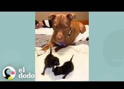 Enlace a El perro al que le gusta cuidar de gatitos