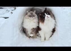 Enlace a Gatitos jugando en la nieve