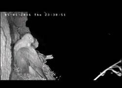 Enlace a El ataque furtivo de un búho a un nido de halcones