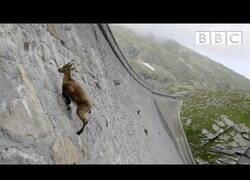 Enlace a Cabras montesas desafiando las leyes de la gravedad