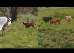 Enlace a Un perro y un canguro pelean mientras una cabra intenta copular con dos cerdos