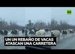 Enlace a Un rebaño de vacas interrumpen el tráfico en una carretera