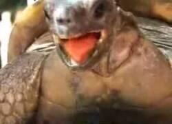 Enlace a El extraño apareamiento de esta tortuga