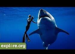 Enlace a Nadando junto a un tiburón blanco de 6 metros