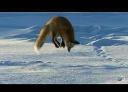 Enlace a Un zorro se zambuye de cabeza en la nieve para atrapar ratones